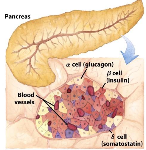 La insulina es secretada por las células beta, situadas en los islotes de langerhans del páncreas endocrino. Fuente imagen: lehninger principles of biochemistry 5th edition.