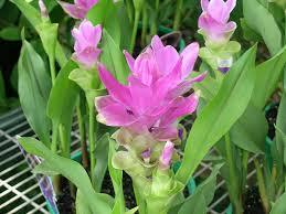 planta curcuma